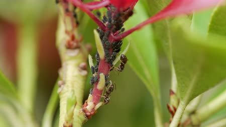formicidae : Ants harvesting or milking Aphids for their sweet nectar or honeydew Stock Footage