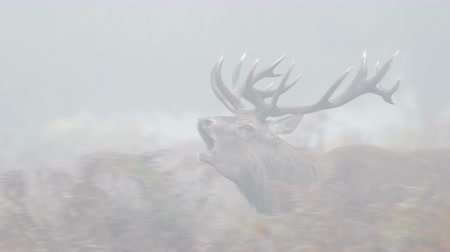 regal : Red Deer stag (Cervus elaphus) chasing females with tongue out and bellowing, bugling or roaring on a misty morning Stock Footage