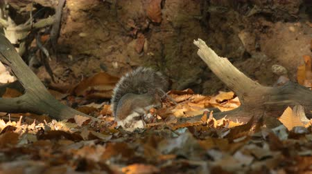 sciuridae : Grey or Gray Squirrel (Sciurus carolinensis) foraging in a Sweet Chestnut woodland in autumn or fall