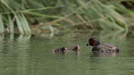 ruficollis : Little Grebe loon (Tachybaptus ruficollis) feeding young grebelets or chicks Stock Footage