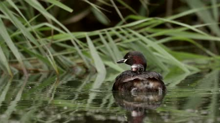 ruficollis : Little Grebe loon (Tachybaptus ruficollis) carrying young grebelets or chicks