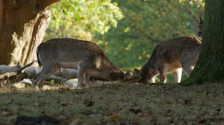 jelen : Fallow Deer bucks (Dama dama) fighting or sparring in an autumn or fall woodland during the rutting season Wideo