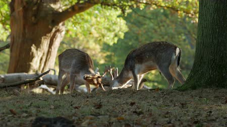 sivilceli : Fallow Deer bucks (Dama dama) fighting or sparring in an autumn or fall woodland during the rutting season Stok Video