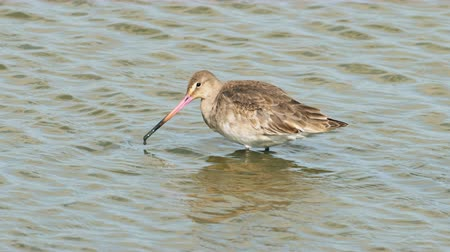 limosa : Black-tailed Godwit juvenile (Limosa limosa) feeding or foraging in the shallows in slow motion Stock Footage
