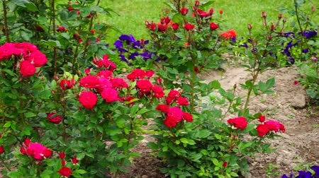 paisagístico : red roses in the garden Stock Footage