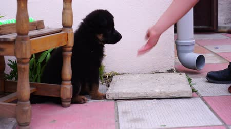 small black Caucasian shepherd puppy playing in the yard Wideo