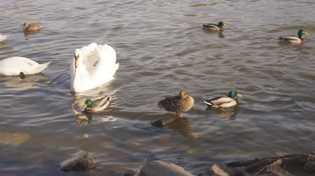 A city park, White swans swim in a river, Swans on the Vltava River, Swans in Prague, white swan floating in the water among wild ducks, video, sunny day.