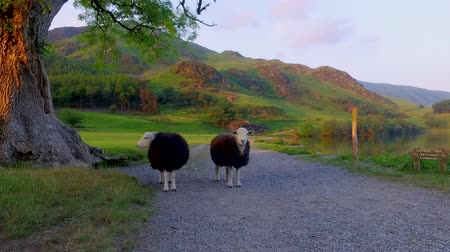 kerület : Curious sheeps on pasture at sunset in the Lake District, England