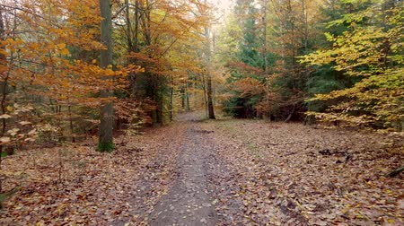 dzsungel : Walking in the middle of forest full of colourful trees in autumn, Poland