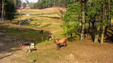 paroh : Wild herd of deer in the forestin sunny day Dostupné videozáznamy