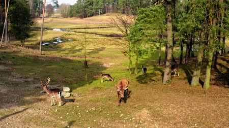 jelen : Forest and herd of deer in sunny spring Wideo