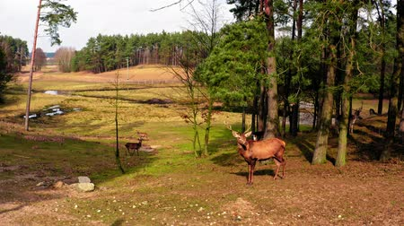 paroh : Spring forest and wild herd of deer in a sunny day