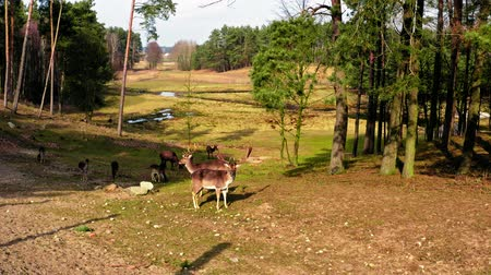 paroh : Herd of deers in the spring forest Dostupné videozáznamy