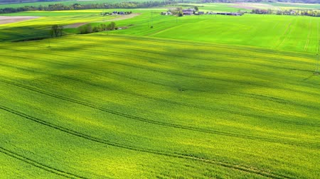 oleaginosa : Yellow rape fields in sunny day, aerial view, Europe Stock Footage