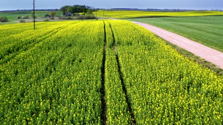 kolza tohumu : Flying above blooming rape fields in sunny day, Poland Stok Video