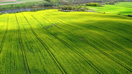 kolza tohumu : Flying above yellow and green rape fields in Poland Stok Video