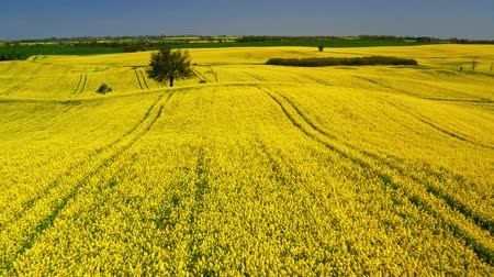 oleaginosa : Green and yellow rape fields in sunny day, aerial view, Poland