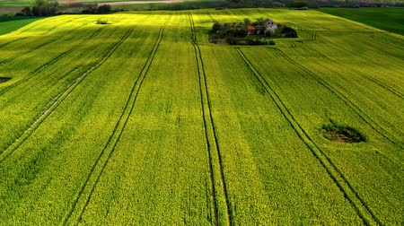 oleaginosa : Flying above yellow and green rape fields in spring, Poland Stock Footage