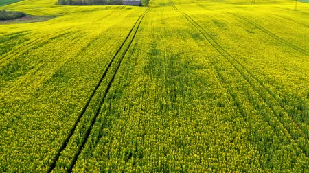 repce : Big and yellow rape fields in the spring, Poland, aerial view