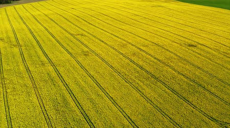 kolza tohumu : Big blooming yellow rape fields from above, Poland