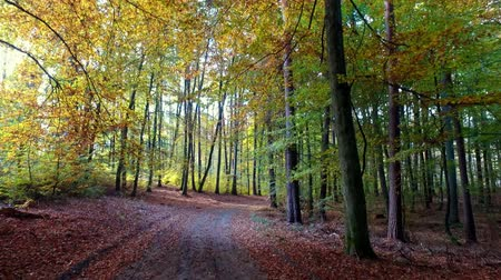wooden path : Full of leaves path in autumn forest, Poland Stock Footage