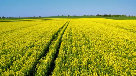 repce : Yellow rape fields in spring from above in sunny day, Poland Stock mozgókép