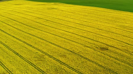 kolza tohumu : Yellow rape fields in sunny spring from above, Poland Stok Video