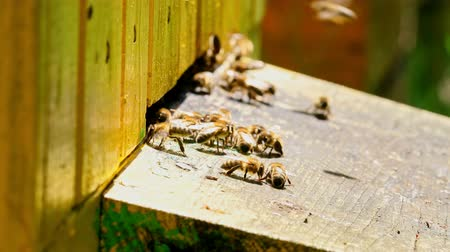 apiary : Closeup of bees enetre to yellow beehive in sunny day, Poland Stock Footage