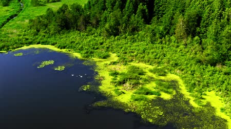 algi : Vivid green algae on the lake in summer, flying above