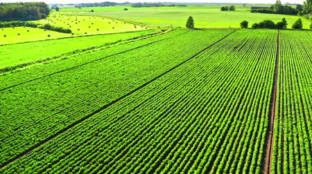 batatas : Aerial view of green potato field in spring, Poland