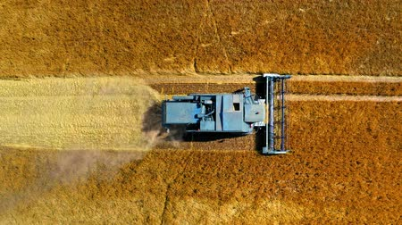 tahıllar : Top down view of blue harvester working on golden field Stok Video