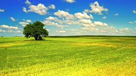 oak : Spring landscape with one tree on field with blue sky Stock Footage