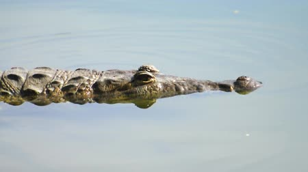 Alligator floats at surface of water Stok Video