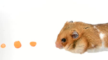 loja : Cute hamster follows trail of food isolated on white background