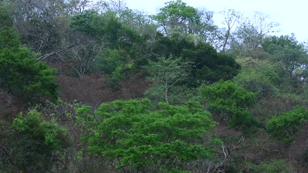 lombhullató : Mix of evergreen and seasonal barren trees in tropical forest during dry season in El Ocote Biosphere Reserve in Chiapas, Mexico, with natural sounds Stock mozgókép