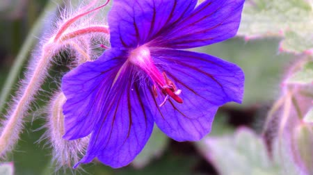 опылять : Geranium blossom video close up. Sharping, zooming, pistil and stamen detail, Стоковые видеозаписи