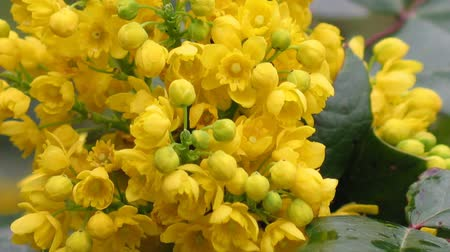 spiny : Detail yellow flowering shrubs mahonia - Mahonia aquifolium. Video blossom close up, sharping, zooming, gentle flow of inflorescence