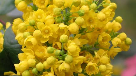 Орегон : Detail yellow flowering shrubs mahonia - Mahonia aquifolium. Video blossom close up, sharping, zooming, gentle flow of inflorescence