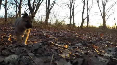contentamento : Slow motion. The puppy runs to the camera.