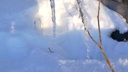 rampouch : Melting Icicles In Spring.Melting pieces of snow on branches
