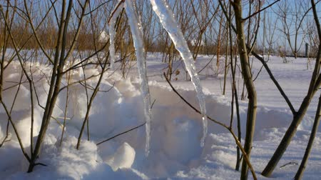 sincelo : Melting pieces of snow on branches
