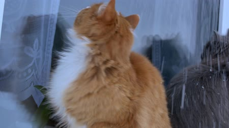 isteyen : Beautiful ginger and gray cats in the snow. Beautiful fluffy cats sitting on the winter window.meows Stok Video