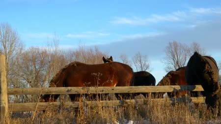 yele : horses eating hay in late evening autumn light, at the fence
