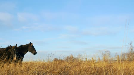 juba : two black horses eating hay in late evening autumn light Stock Footage