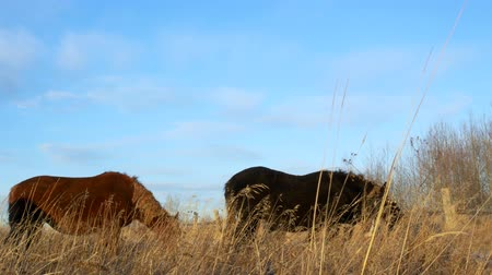 juba : Brown and two black horses eating hay in late evening autumn light