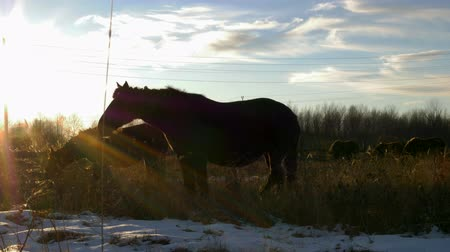 equestre : horses graze at sunset eat dry grass on the field in the rays of the autumn sun. close-up