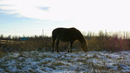juba : the horse is grazed on a meadow in the fall picking the last grass out of the snow in the evening