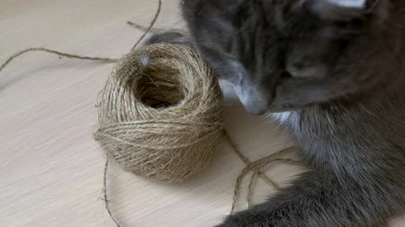 eye ball : Gray cat is played with a ball of thread.