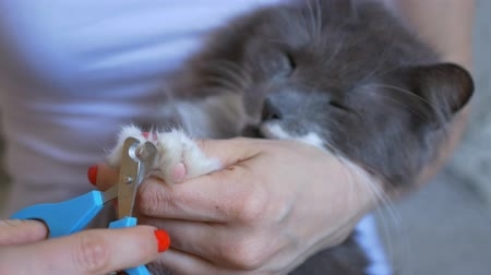 the veterinarian cuts the claws on the white legs of a gray cat. close-up