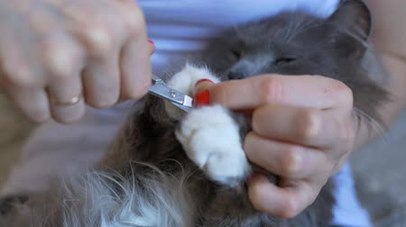 veterinarian cuts fur on white legs of a gray cat. close-up